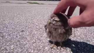 Baby Owl caressed in Verona