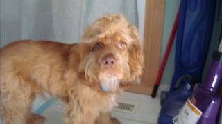 This Video Previously Contained A Copyrighted Audio Track. Due To A Claim By A Copyright Holder, The Audio Track Has Been Muted.     My American Cocker Spaniel, Toby.