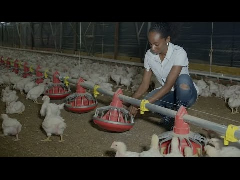Solar Powers Chickens in Jamaica
