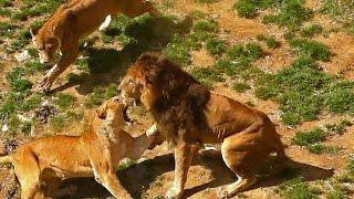 メス同士のケンカを止めるオスライオン(多摩動物公園)Male lion stopping fight