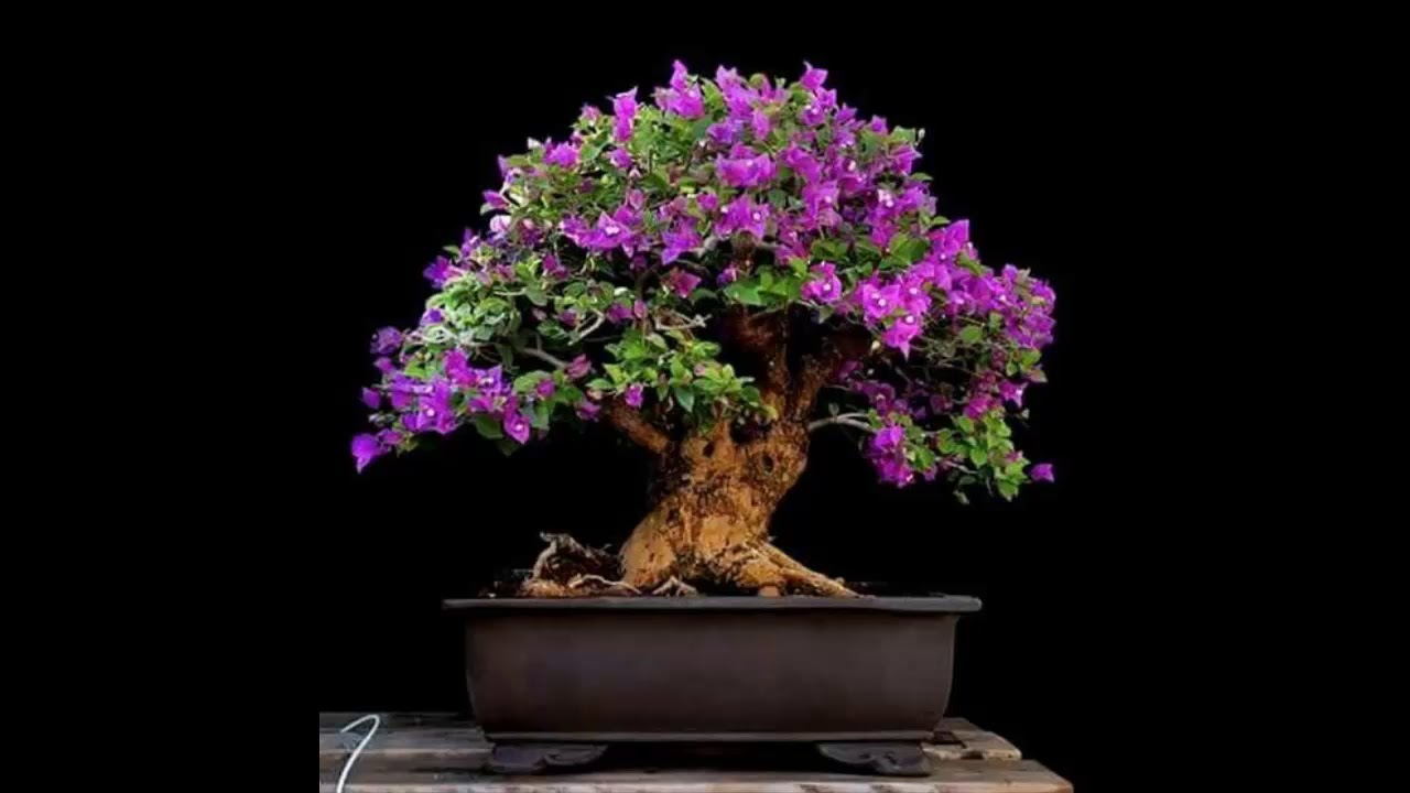 bougainvillea glabra bonsai tree 18 youtube