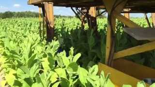 Zbiór liści tytoniu (Virginia) / Cutting tobacco leaves (Virginia) in Poland