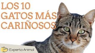 Los 10 gatos más cariñosos