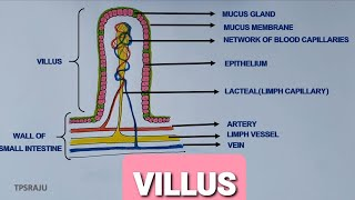 HOW TO DAW VILLUS DIAGRAM EASILY? STRUCTURE OF VILLI.