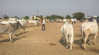 देशभरात नावाजलेला वणीतील सुप्रसिद्ध बैल बाजार | Bullock Market Bail Bazar In wani