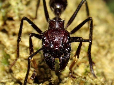 Bullet ant nest (Paraponera clavata)