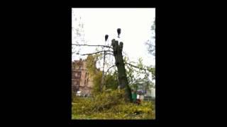 Удаление деревьев 88123045205, Спил деревьев, валка деревьев, вырубка деревьев, обрезка деревьев.(Удаление деревьев 88123045205. Валка деревьев, с помощью подъемного крана, и автовышки. Одно из тысяч деревьев..., 2014-03-06T21:23:06.000Z)