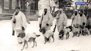 Сталинградская энциклопедия. Собаки на войне.  28.02.17