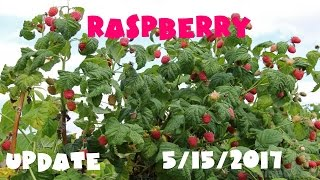 Gambar cover ⟹ RASPBERRY PATCH  | Rubus idaeus | Spreading like a weed