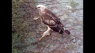 Kaltim Falconry at Tayo