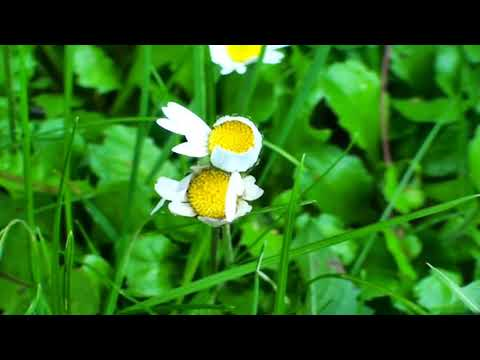 Daisy Video | Flowers name for kids