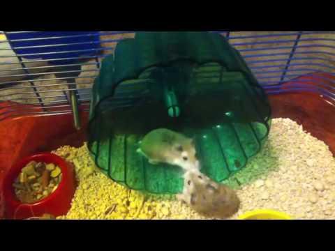 Смешное видео о хомяках -