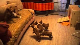 Весёлые щенки басенджи