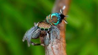 Peacock Spider 15 (Maratus ottoi)