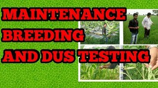 MAINTENANCE BREEDING TERMINOLGY AND DUS TESTING  SEED PRODUCTION TECHNOLOGY