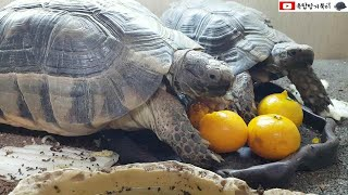 귤을 보고 달려드는 육지거북(tortoise)[옥탑방거…