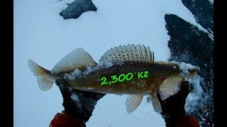 За судаком.  Ловля судака зимой на крупные мормышки с подсадкой малька.