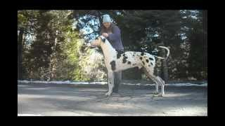 Gait & Stack Practice - 17mo Old Great Dane