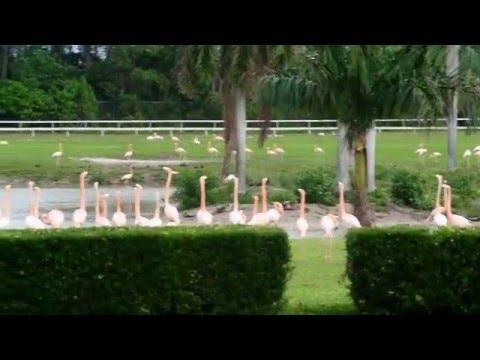 Flamingo on Hialeah Park