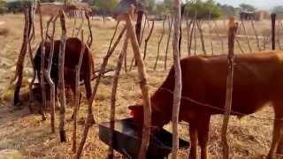 Small Scale Cattle Fattening in Zimbabwe