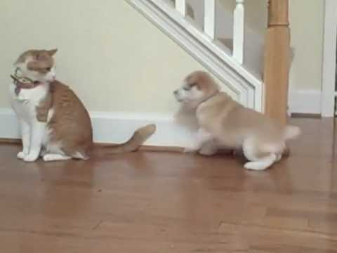 Thumbnail for Cat Video Cat unimpressed by Shiba Inu puppy.