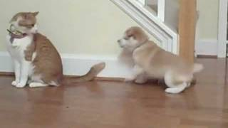 Repeat youtube video Cat unimpressed by Shiba Inu puppy.