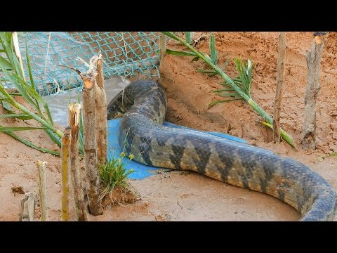Thumbnail: Snake Trap Technology - Awesome Big Snake Trap Using Cage Trap