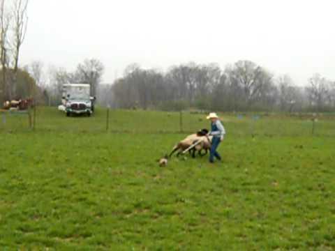 Swedish Vallhund--herding instinct test 1