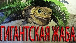 ГИГАНТСКАЯ ЯДОВИТАЯ ЖАБА АГА! Одна из самых больших жаб на планете!