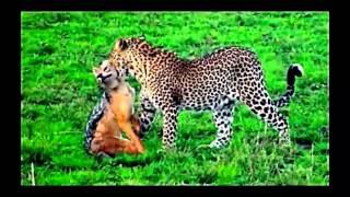 Дикие кошки на охоте