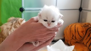 Persian Kittens  From birth to new homes VLOG #4