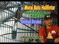 Murai Batu Halilintar Jawaranya Piala Raja  Kembali Beraksi  Mp3 - Mp4 Download