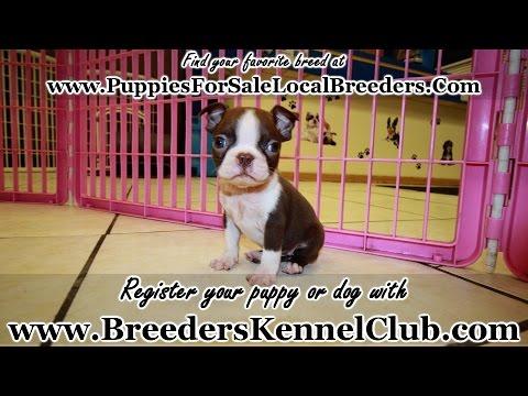 Rare Red Boston Terrier Puppies For Sale Georgia Local Breeders