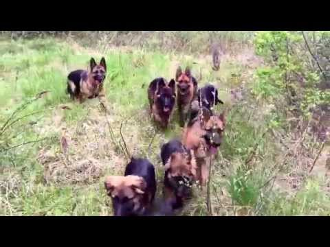 The Ultimate German Shepherd pack