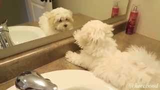 Cute Talking Puppy Finds Himself In The Mirror! (A Must See!)