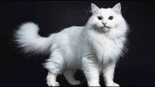 INTERESTING FACTS ABOUT THE SIBERIAN CAT