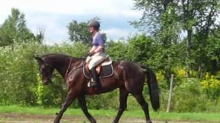 17hh Black Thoroughbred 1.20m Prospect!