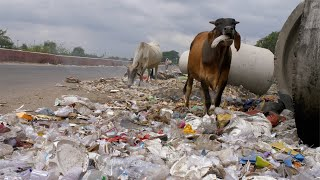 Cows eating plastic at a roadside garbage dumping site in India - environmental pollution