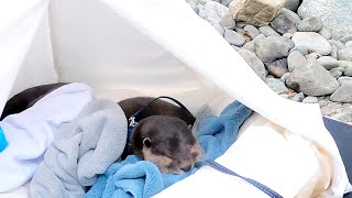 Enjoying camping beside otters resting by the river. [Otter life Day 493]