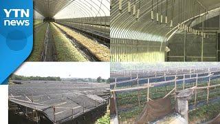 자연재해 줄이고 작업 편한 인삼재배시설 개발 / YTN