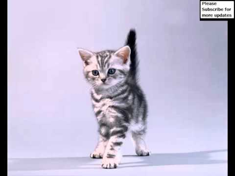 American Shorthair Black | Set Of Cat Picture Collection