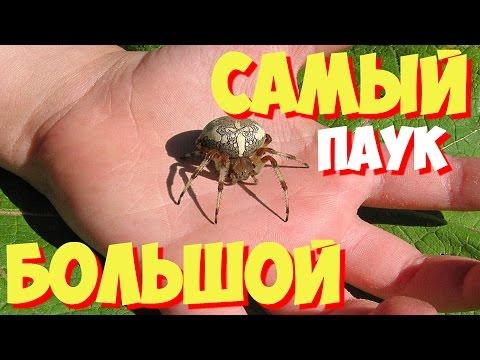 Самые большие пауки в мире | ТОП 10 самых больших в мире пауков