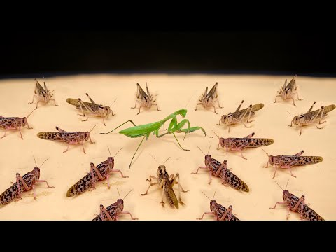 WHAT IF A PACK OF HUNGRY LOCUSTS SEES A MANTIS? MANTIS VS LOCUSTS!