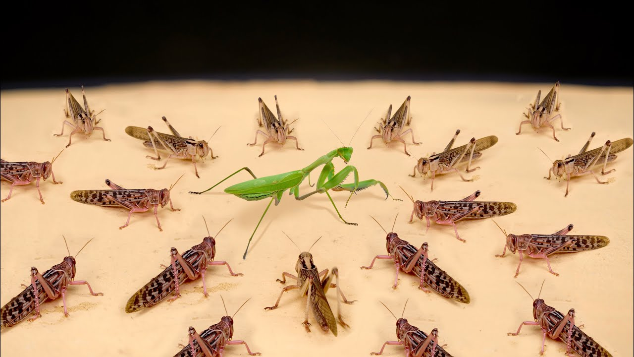 Download WHAT IF A PACK OF HUNGRY LOCUSTS SEES A MANTIS? MANTIS VS LOCUSTS!