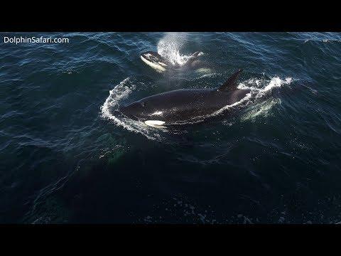 Orcas off Dana Point California, RARE Eastern Tropical Pacific Killer Whales
