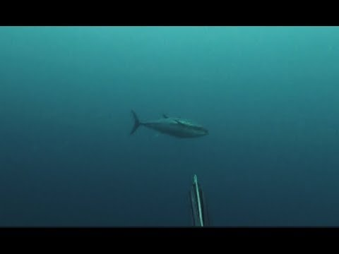 Dentex spearfishing when Tunas arrives 24/4/2019 GREECE
