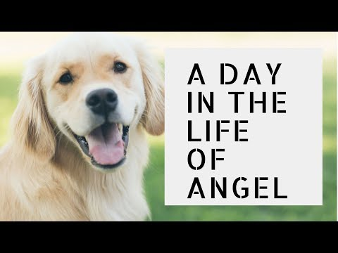 Puppy - A day in the life of Angel - the Golden Retriever