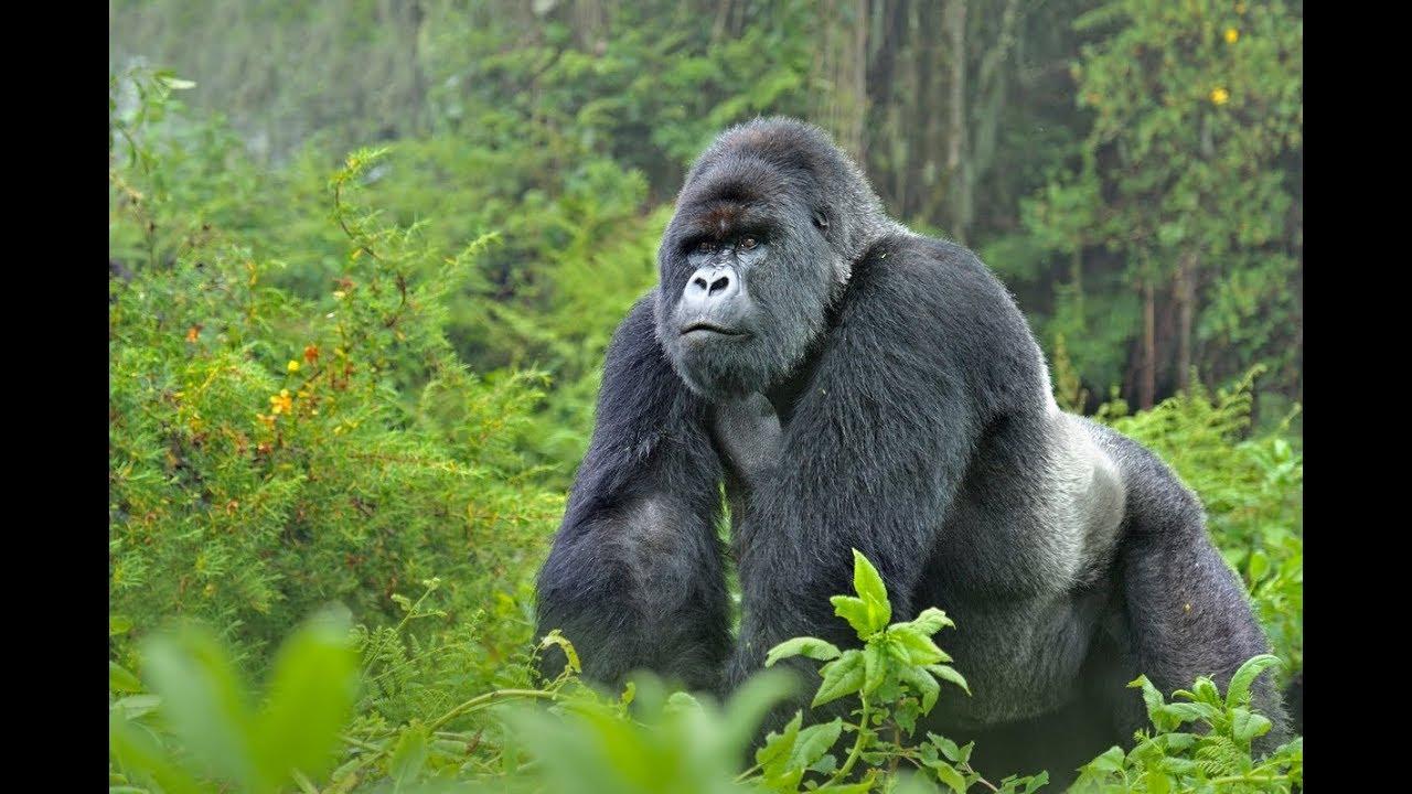 Mountain Gorillas in Uganda - Churchill Tailored Safaris