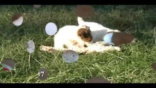 "StarView Farm Jack-A-Poo Puppy ""Buddy"""