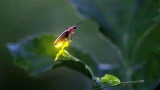 Fireflies in Iowa